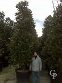 Magnoliaclt 350 450 500