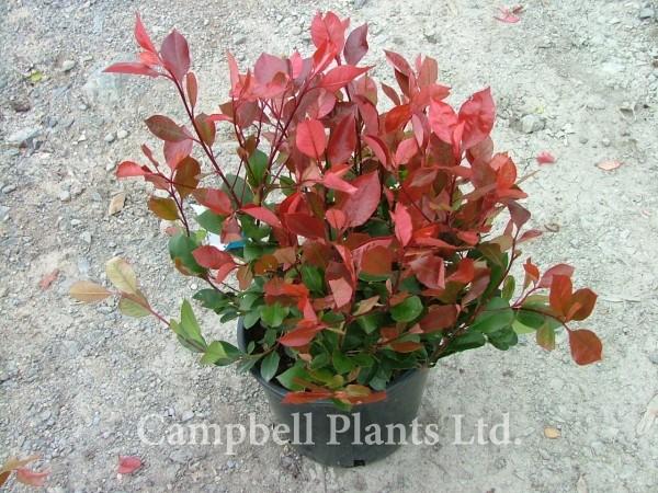 evergreen hedging campbell plants ltd wholesale and. Black Bedroom Furniture Sets. Home Design Ideas