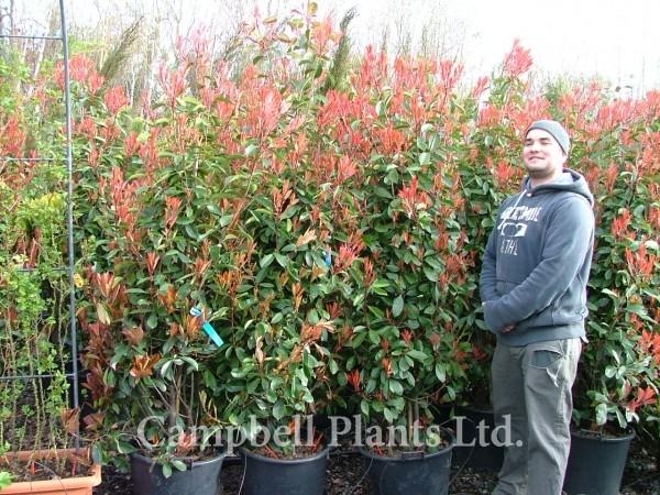 a z of all plants campbell plants ltd wholesale and trade nursery for landscape plants. Black Bedroom Furniture Sets. Home Design Ideas