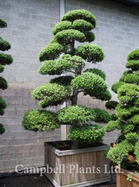 bonsai campbell plants ltd wholesale and trade nursery. Black Bedroom Furniture Sets. Home Design Ideas