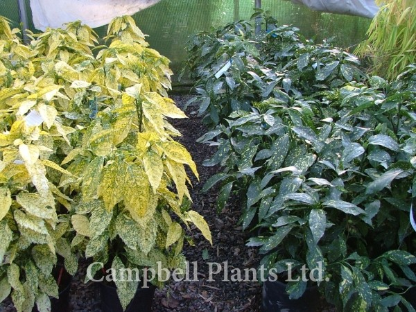 Evergreen Hedging Campbell Plants Ltd Wholesale And