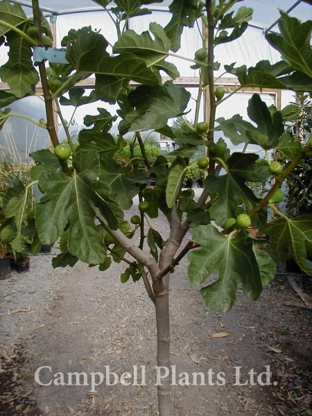 Mature ficus tree