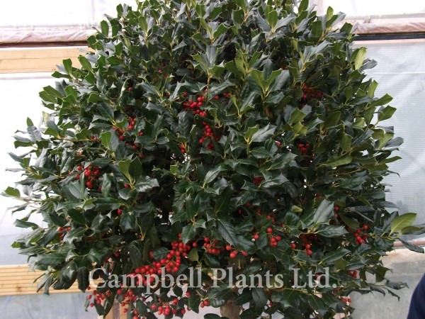 a z of all plants campbell plants ltd wholesale and. Black Bedroom Furniture Sets. Home Design Ideas